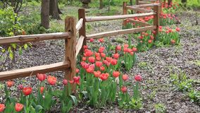 Group red tulips growing around wooden fence stock video footage