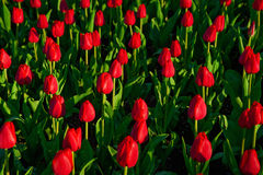 Group of red tulips in the park. Spring landscape. Royalty Free Stock Photography