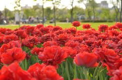 Group of red tulips in the park. Spring landscape. royalty free stock image