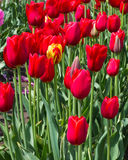 Group of red tulips with a single yellow Royalty Free Stock Image
