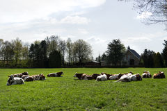 Group of Red and White cows lying in an meadow near a farm Stock Image