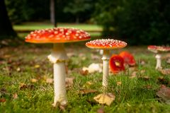 Fly fungus Amanita muscaria, autumn, close-up Royalty Free Stock Photography