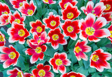 Group with red and white tulips Royalty Free Stock Photo