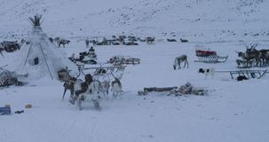 Group of reindeers amazing capturing on a ride with a Siberian man on a sleigh , they came to the yurts camp.  stock footage