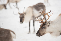 Group of reindeers in winter Royalty Free Stock Photos