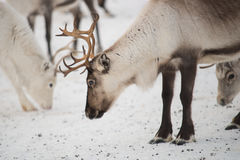 Group of reindeers in winter. Group on reindeers in the mountains of Norway Royalty Free Stock Photography