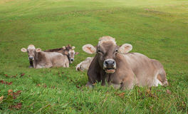 Group of relaxing cows on a pasture in switzerland Royalty Free Stock Photo