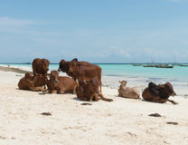 Group of resting african brown cows on sandy Zanzibar beach Royalty Free Stock Images