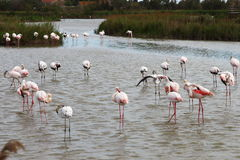 Group of resting flamingos, Camargue, France stock images
