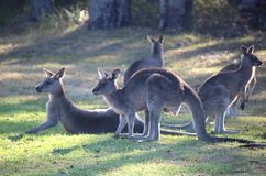 Group of resting kangaroos. A group of kangaroos resting on grass.  Green grass background Royalty Free Stock Photos