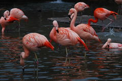 Group of resting  pink flamingos Royalty Free Stock Photos