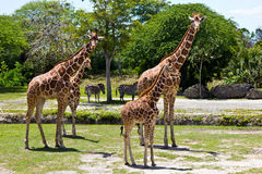Group of Reticulated Giraffes. A group of Reticulated Giraffes animals royalty free stock image