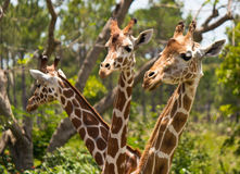 Group of Reticulated Giraffes. The long necks of a group of Reticulated Giraffes stock image