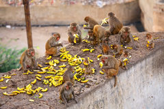 Group of Rhesus macaques eating bananas near Galta Temple in Jai Stock Image