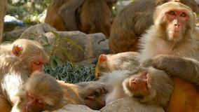 Group of rhesus macaques on rocks. Family of furry beautiful macaques gathering on rocks in nature and sleeping stock video