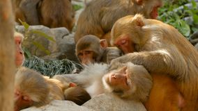 Group of rhesus macaques on rocks. Family of furry beautiful macaques gathering on rocks in nature and sleeping stock video footage