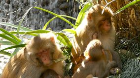 Group of rhesus macaques on rocks. Family of furry beautiful macaques gathering on rocks in nature and sleeping stock footage