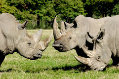Group of rhino. Are standing and looking on green grass stock image
