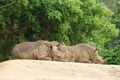 The group rhinoceros Royalty Free Stock Photo