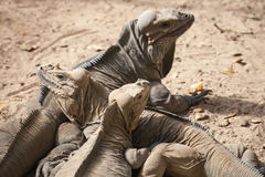 Group of Rhinoceros Iguanas, lizards, family Iguanidae Stock Photography