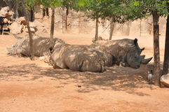 Group of rhinos Stock Image