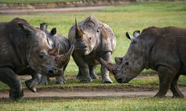 Group of rhinos in the national park. Kenya. National Park. Africa. Royalty Free Stock Photos