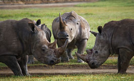 Group of rhinos in the national park. Kenya. National Park. Africa. Royalty Free Stock Photo