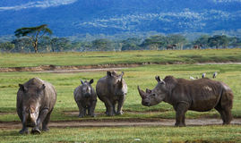 Group of rhinos in the national park. Kenya. National Park. Africa. Stock Photo