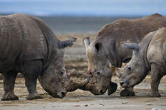 Group of rhinos in the national park. Kenya. National Park. Africa. Royalty Free Stock Images