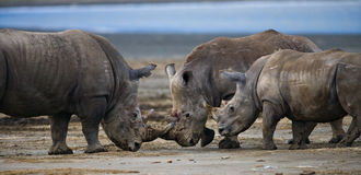 Group of rhinos in the national park. Kenya. National Park. Africa. Stock Photography