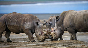 Group of rhinos in the national park. Kenya. National Park. Africa. Stock Image