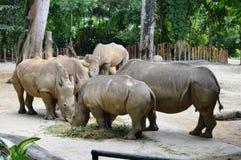 Group of Rhinos Royalty Free Stock Photo