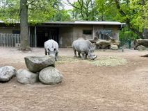 Group of rhinos from a zoo eating hay royalty free stock photos