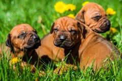 Group of Rhodesian Ridgeback puppies lying on grass. A group of three 3-week-old Rhodesian Ridgeback puppies lying on the green grass in the sun Stock Photo