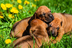 Group of Rhodesian Ridgeback puppies lying on grass. A group of three 3-week-old Rhodesian Ridgeback puppies lying on the green grass in the sun Stock Image