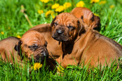 Group of Rhodesian Ridgeback puppies lying on grass. A group of three 3-week-old Rhodesian Ridgeback puppies lying on the green grass in the sun Royalty Free Stock Photos