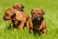 Group of Rhodesian Ridgeback puppies sitting in the grass. A group of three 1-month-old Rhodesian Ridgeback puppies sitting in the green grass in the sun Royalty Free Stock Image
