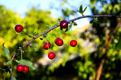 Group of rich cherries on offshoot of a plant Stock Images
