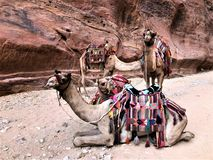 Group of Riding Camels in Petra stock photo