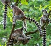 A group of ring tail makies stock images