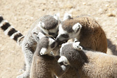 Group Ring-tailed lemur of eating Royalty Free Stock Photos