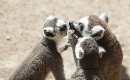 Group Ring-tailed lemur of eating Royalty Free Stock Photo