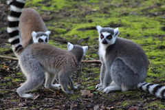 Group Ring tailed lemur Stock Photos