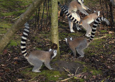 Group Ring tailed lemur Royalty Free Stock Image