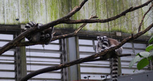 Group Ring tailed lemur Royalty Free Stock Photography