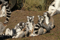 Group of ring-tailed lemurs with baby's Stock Photos