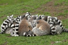 Group of ring-tailed lemurs siting close together Royalty Free Stock Photos