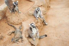 Group of ring tailed Maki Catta lemurs with big orange eyes. Madagascar lemurs.  stock image