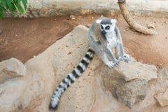 Group of ring tailed Maki Catta lemurs with big orange eyes. Madagascar lemurs.  stock photos