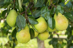 Group of ripe healthy yellow and green pears Royalty Free Stock Photography